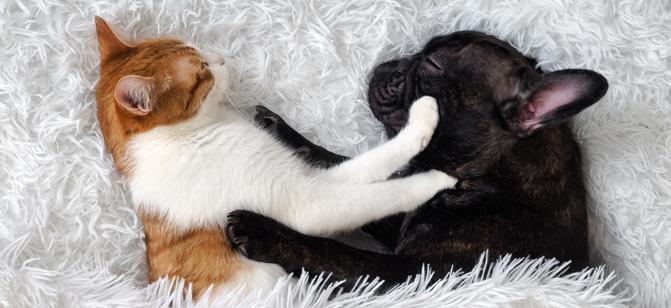 Chien et chat qui dorment ensemble